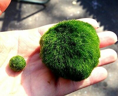 LUFFY Giant Marimo Moss Ball (3cm To 5cm) X 1 + One Small Marimo Free!(ship UK) • EUR 18,31