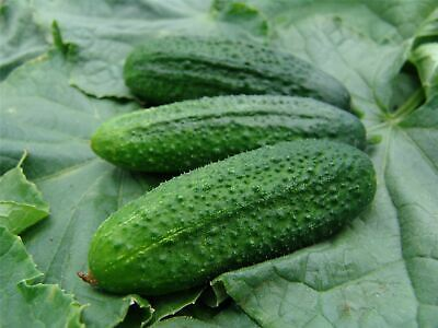 Vegetable - Kings Seeds Picture Packet Cucumber Partner F1 (Gherkin) - 20 Seeds