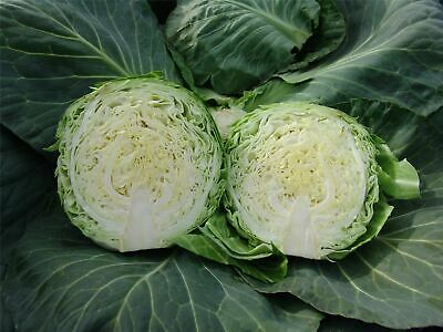 Vegetable - Kings Seeds - Picture Packet - Cabbage - Kalibro F1 - 30 Seeds