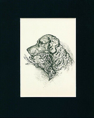 Dog Print 1940 Chesapeake Bay Retriever by Lucy Dawson VINTAGE