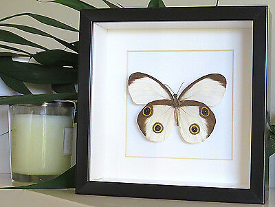 Butterfly collections for sale in shadowbox frame Taenaris catops BBTC