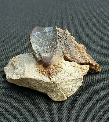 Fossil Dinosaur Triceratops Rooted Skull Tooth Hell Creek
