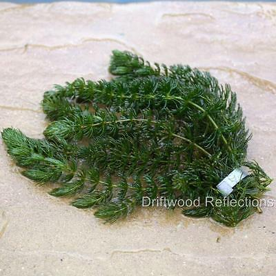 1 Bunch of Hornwort  6 Strands ~ Oxygenating Pond Weed ~ weighted