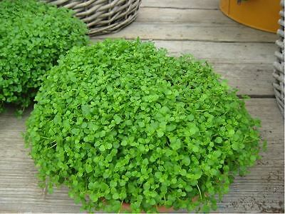 Herb - Corsican Mint - Mentha Requienii - Mint Mini - 10 Pelleted Seeds