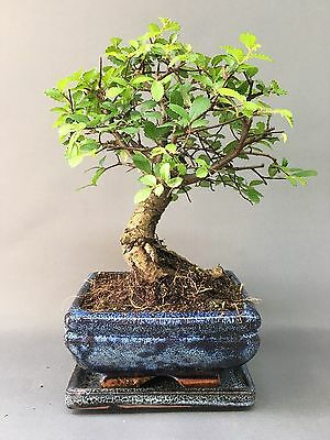 Chinese Elm Broom Style Bonsai Tree supplied with Matching Ceramic Tray