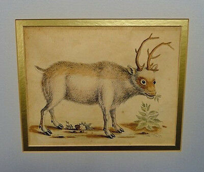 George Edwards - Antique Engraving print - The Greenland Buck c1750.
