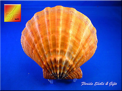 "Large Orange Lions Paw Scallop Shell Seashell Beach 5"" and up Nautical"