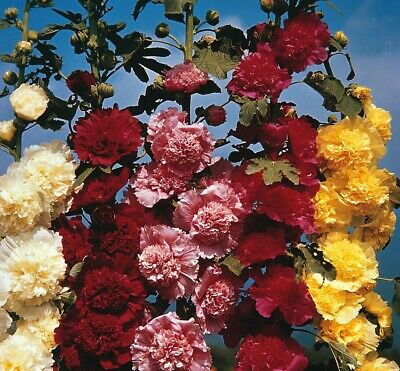 Hollyhock Chaters double mix - Alcea rosea - Appx 1000 seeds - 10 gram - Annuals