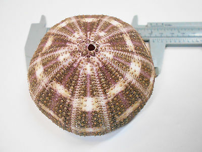 "1 Large Alfonso Gator Sea Urchins 3""- 4"" Coastal Beach Cottage Crafts Airplants."