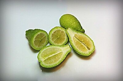 """Round Lime, Citrus Australis - Dwarf"""" ;rootstock Flying Dragon, Rare Oportunity"""