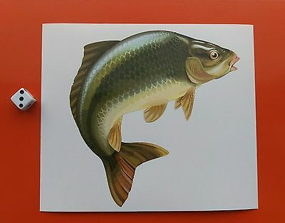 "Superb Quality 6"" Carp Sticker / Decal printed on high quality 7-10 year vinyl"