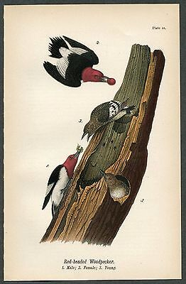 RED-HEADED WOODPECKER, Vintage 1890 Chromolithograph, Color Print, Antique, 021