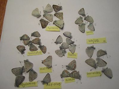 Unmounted  butterflies, moths: lycaenidae mix from Washington and Oregon