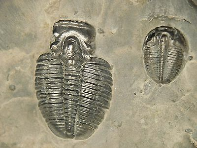Two Small 500 Million Year Old Elrathia TRILOBITE Fossils From Utah 471gr *K