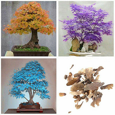 20pcs Blue Yellow Japanese Maple Tree Bonsai Seeds Acer Palmatum Atropurpureum