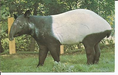Postcard, Malayan Tapir At Colchester Zoo, Unposted