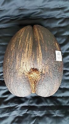 Coco de Mer Seychelles double nut shaped rare exotic natural seed decoration
