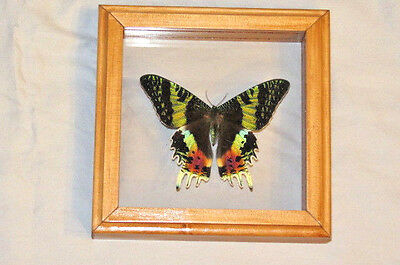 Real Butterfly Sunset Moth Urania Rhipheus Mounted Frame