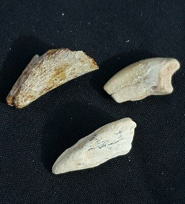 Set Of (3) Fossil Dinosaur Ornithomimid Foot And Hand Claw