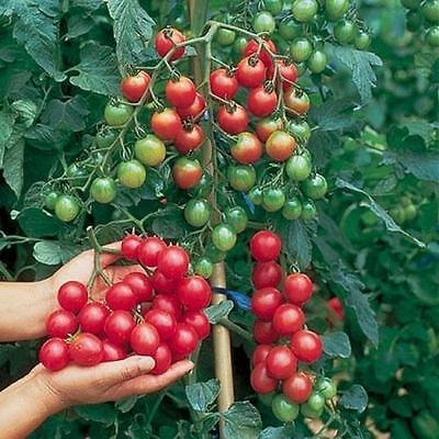 Tomato Cherry - Sweet Million F1 - 20 Finest Seeds