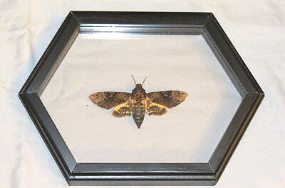 Real Butterfly / Death Head Moth Acherontia Lachesis Mounted Frame