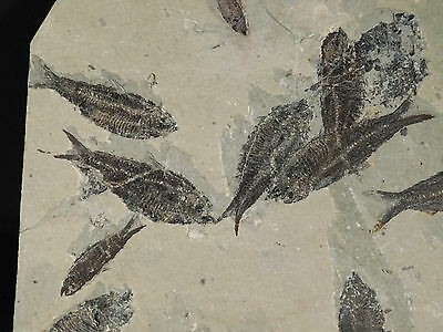 School of EIGHT! 100% Natural 50 Million Year Old Fish Fossils Wyoming 1922gr e