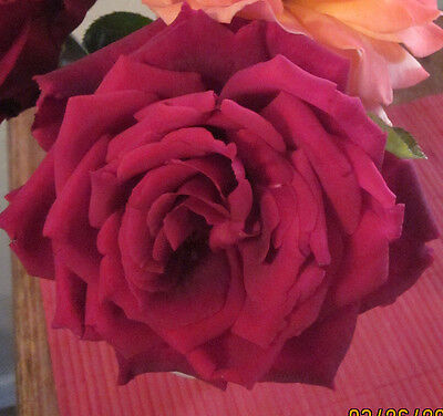 Mister Lincoln Extremely Fragrant LARGE blooms deep red Rose, 5+  fresh cuttings