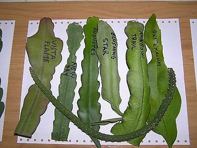 LOTE 7 ESQUEJES EPIPHYLLUM - Batch / Lot of 7 cuttings