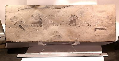 2 Juvenile Eurypterids + Pterygotid Claw On Large Plate: Lang's Quarry, Ny- Rare