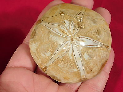 A Big Very Well Defined! Polished SEA URCHIN Fossil! from Madagascar 135gr e