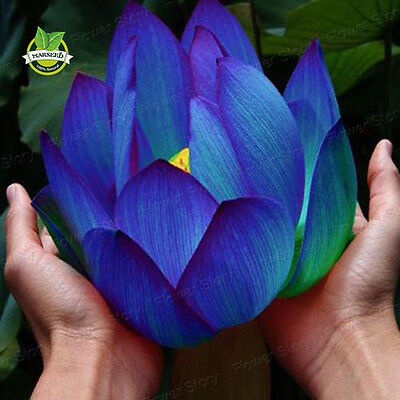 20 Blue Sapphire Lotus Flower Seeds Rare Color Perfect Yard Plant Label