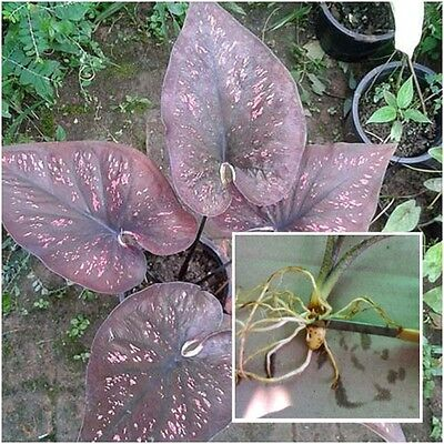 Caladium 1 Tuber, Queen of the Leafy Plants, ''Ploychompoo'' Colourful Tropical