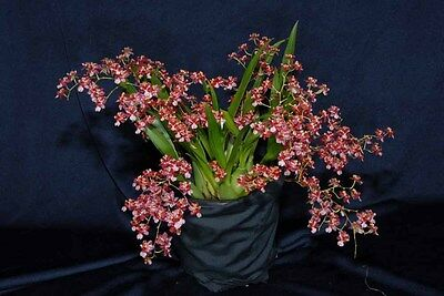 Oncidium Twinkle 'Red Fantasy' orchid