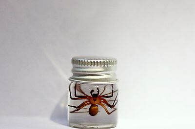 Real Venomous Brown Recluse Spider Specimen insect collection