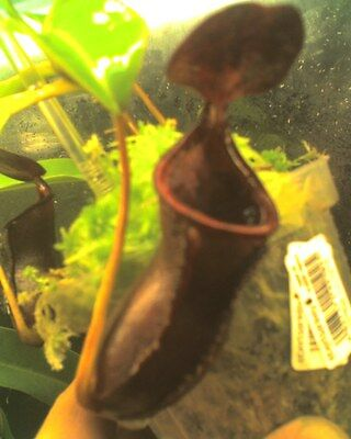 Nepenthes-Lowiixcampanulata-Very_Rare_And_Beautiful
