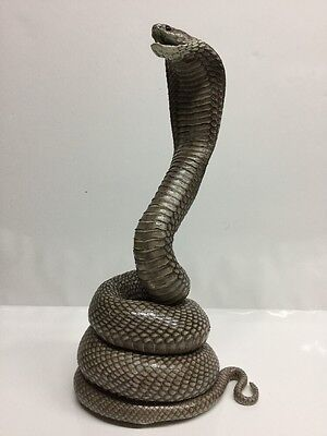 "13.50"" Real Unmounted Standing Spitting Cobra Snake Naja Sputatrix Taxidermy"