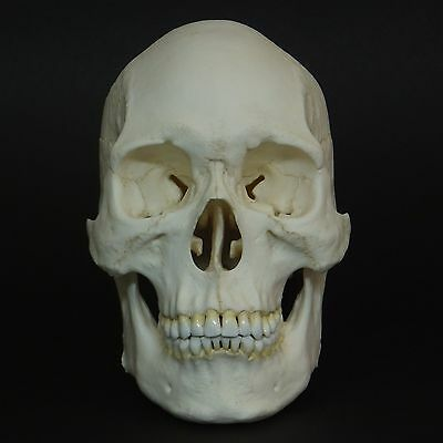 Robust Human Asian Male Skull Replica (Real Size)