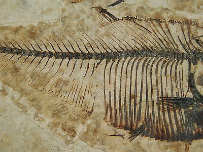 A Super FINE Bones! A Small 50 Million Year Old Fish Fossil From Wyoming 165gr