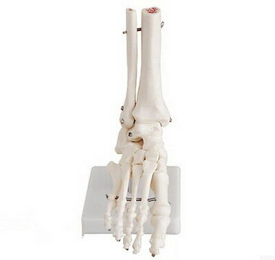 Life Size Foot Ankle Joint Anatomical Model Skeleton - Human Medical Anatomy 7 ぱ