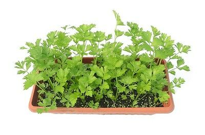 2000 CUTTING LEAF CELERY Apium Graveolens Soup Vegetable Herb Seeds *Flat Ship