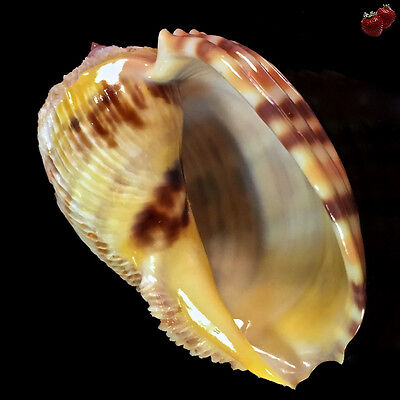 Harpa Costata, St. Brandon, Mauritius, 64 mm, LIVE COLLECTED, GREAT QUALITY