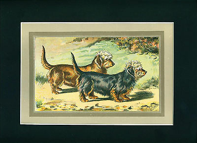 RARE Dog Print 1931 Dandie Dinmont Terrier Dogs by Mahler