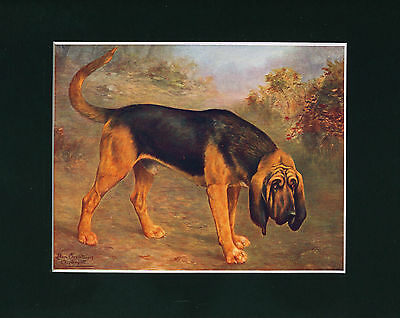 Dog Print 1907 Bloodhound Dog by Lilian Cheviot ANTIQUE