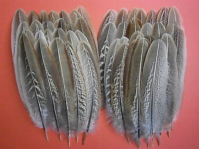 """50 Cock Pheasant Wing Feathers 6"""" - 7"""" Fly Tying Millinery Art Floral Display"""