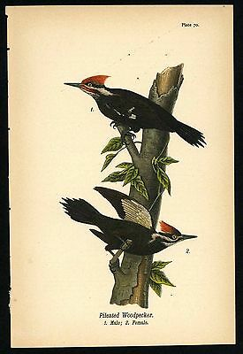 PILEATED WOODPECKER, Vintage 1890 Chromolithograph, Color Print, Antique, 070