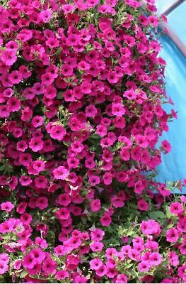 Flower - Kings Seeds - Picture Packet - Petunia - Purple Velvet F1 - 20 Seed