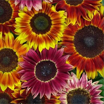 Flower - Kings Seeds - Picture Packet - Sunflower - Harlequin Mixed F1 - 25 Seed