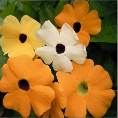 Flower - Kings Seeds - Thunbergia Alata Mixed - Black Eyed Suzie - 30 Seed