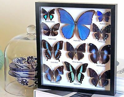 Taxidermy Real Insect  Framed blue butterfly collection for sale  BPB