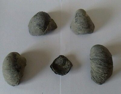 4 large almost complete Gryphaea Gryphea Devils Toenail fossil shells